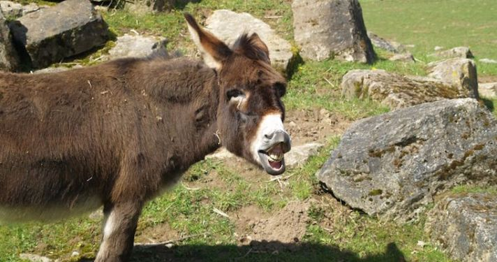 78582836 - laughing donkey showing the teeth
